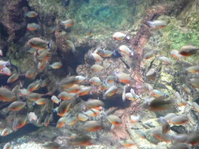 Тропически рибки в Тюркоазу